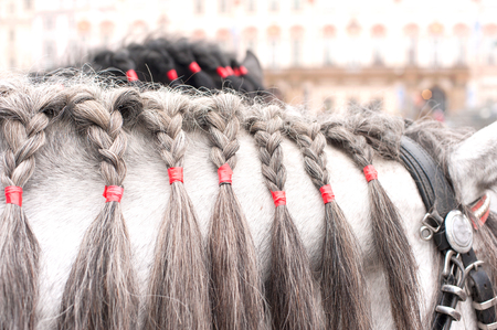 plaited: Gray horse neck with plaited mane. Outdoors.