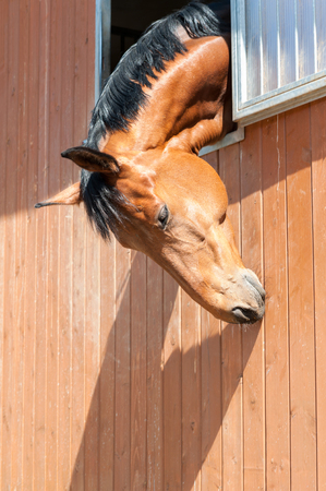 Portrait of purebred chestnut horse in stable window. Multicolored summertime outdoors image. Standard-Bild