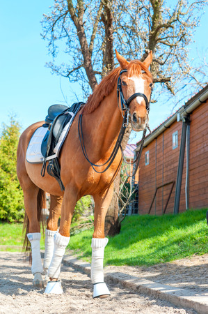 pasturage: Purebred chestnut stallion in bandages standing and waiting on pasturage. Multicolored summertime exterior image.
