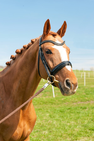 Thoroughbred braided chestnut horse portrait. Multicolored summertime outdoors image. Archivio Fotografico
