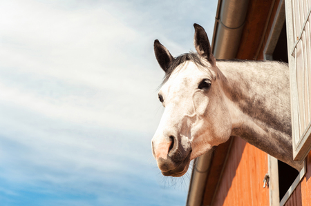 dapple grey: Portrait of thoroughbred gray horse in stable window on a blue sky background. Multicolored summertime outdoors filtered image.
