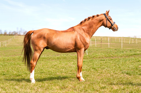 horse chestnuts: Purebred braided chestnut stallion standing on pasturage. Exterior image with side view. Summertime outdoors.