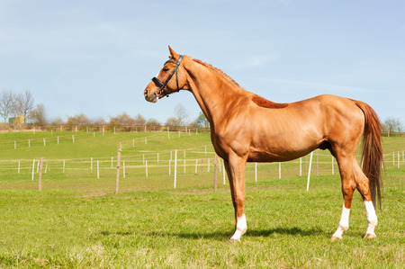 Thoroughbred chestnut standing on pasturage stallion. Multicolored exterior image with side view. Summertime outdoors.