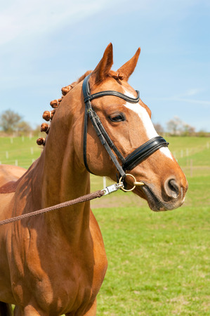 Purebred braided chestnut horse portrait. Multicolored summertime outdoors image.