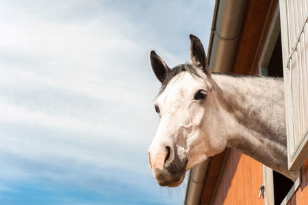 Portrait of thoroughbred gray horse in stable window on a blue sky background.  Stock Photo
