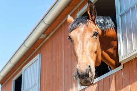 thoroughbred: Portrait of thoroughbred chestnut horse in stable window. Multicolored summertime outdoors image. Stock Photo