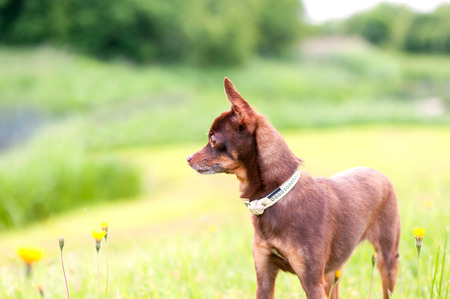 toyterrier: Small brown toy-terrier standing in summer green park. Multicolored outdoors image. Stock Photo