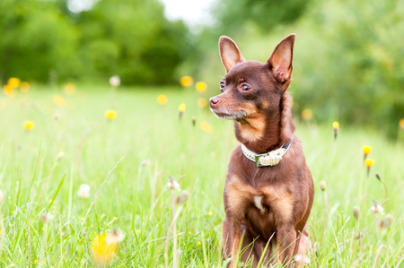 toyterrier: Small brown toy-terrier sitting in summer green park. Multicolored outdoors image. Stock Photo