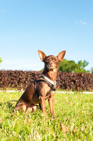 toyterrier: Small brown toy-terrier sitting on green grass in summer park. Multicolored outdoors image. Stock Photo