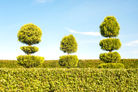 garden lawn: Three topiary green trees with hedge on background in ornamental garden. Vibrant summertime outdoors image.