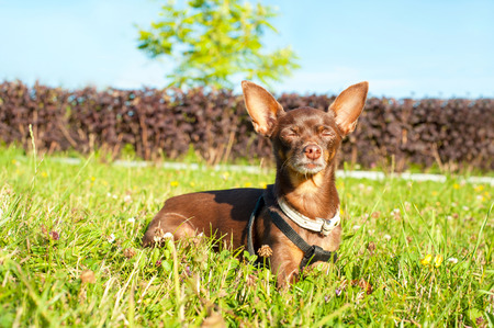 dozing: Small brown toy-terrier dozing on green grass in summer park with closed eyes. Multicolored outdoors horizontal image.