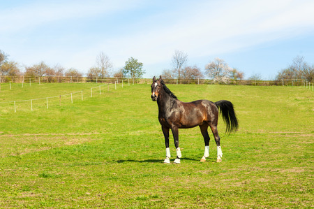 pasturage: Purebred stallion in bandages standing on pasturage. Multicolored exterior horizontal image. Summertime outdoors. Stock Photo