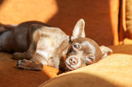 toyterrier: Brown small toy-terrier lying on a sofa in sunbeam. Vibrant colored indoors horizontal image.