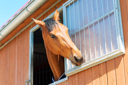 chestnut male: Portrait of playing purebred chestnut horse in stable window. Multicolored summertime outdoors horizontal image.
