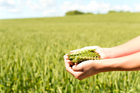 cereals holding hands: Young girl hands holding green wheat stems. Multicolored summertime horizontal outdoors image Stock Photo