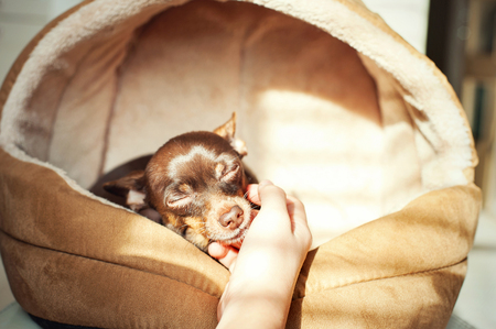 devoted: Unconditional devoted love. Owners hand stroking small toy-terrier dog head. Multicolored vibrant indoors horizontal filtered image Stock Photo