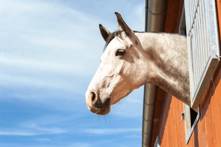 dapple grey: Portrait of thoroughbred gray horse in stable window on a blue sky background. Multicolored summertime outdoors image with filter. Stock Photo