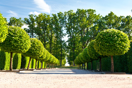 Alley of topiary green trees with hedge on background in ornamental garden on a blue sky background in Rundale royal. Latvia. Vibrant summertime outdoors horizontal image.