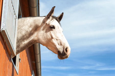 thoroughbred: Portrait of thoroughbred gray horse in stable window on a blue sky background. Multicolored summertime outdoors image with filter. Stock Photo