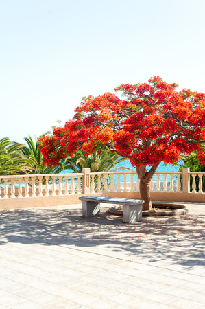 Flamboyant Delonix Regia tree in silent bay of Atlantic ocean. Alcala, Canary islands, Tenerife, Spain. Multi-colored vibrant summertime outdoors vertical image. Stock Photo