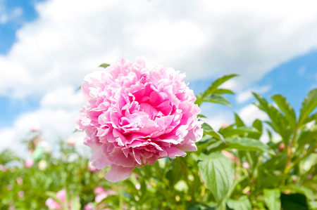minuet: Beautiful pink Minuet peony flowers. Horizontal Outdoors summertime vibrant image.