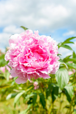 minuet: Beautiful pink Minuet peony flowers. Vertical Outdoors summertime vibrant image.