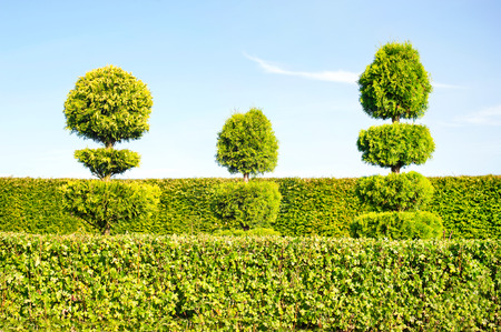Three topiary green trees with hedge on background in ornamental garden. Vibrant summertime outdoors image.