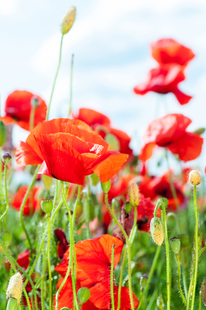 Field with red translucent poppy flowers in rays of sunlight. Multicolored summertime indoors horizontal closeup image
