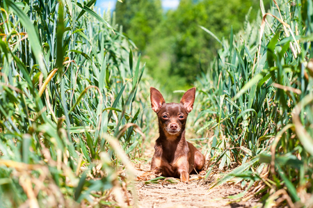 toyterrier: Small dog-brown toy-terrier resting in green wheat field and attentive looking. Outdoors colored summertime horizontal image.