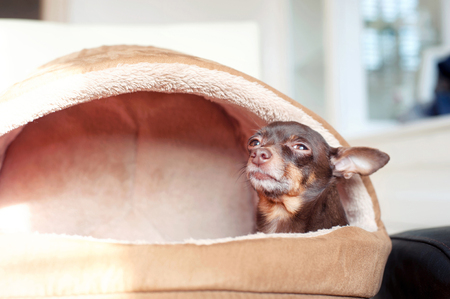 toyterrier: I feel comfortable! Small lazy toy-terrier dog in its pet house. Indoors.