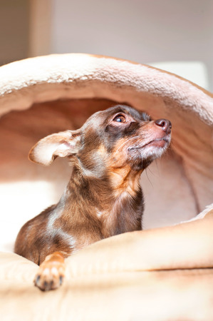 Devotion of the dog. Portrait of brown toy-terrier sitting in pet house in rays of sulight. Indoors close-up.