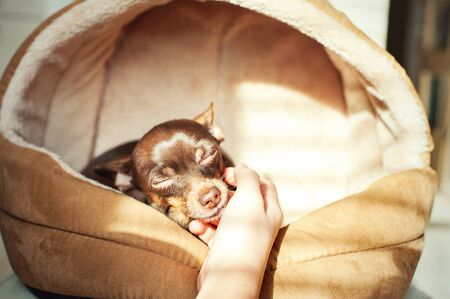 Unconditional devoted love. Owners hand stroking small toy-terrier dog head. Multicolored vibrant indoors horizontal filtered image Stock Photo