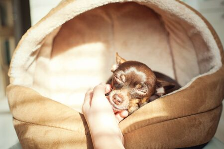 toyterrier: Unconditional devoted love. Owners hand stroking small toy-terrier dog head. Multicolored vibrant indoors horizontal filtered image Stock Photo
