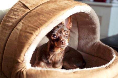 toyterrier: Regardant eyes of small brown toy-terrier dog in pet house. Indoors.