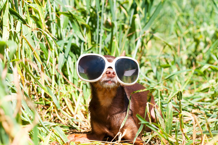 toyterrier: Spy waiting in ambush. Small dog-brown toy-terrier in white fashionable glasses lying in green wheat field in ambush. Outdoors colored summertime horizontal image. Stock Photo