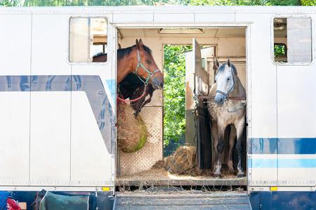 Drie paarden staan in de trailer. Bekijk vooraanzicht. Zomer buitenshuis horizontaal beeld. Stockfoto