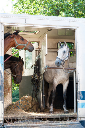Three horses standing in trailer. View front view. Summertime outdoors vertical image.