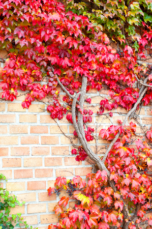 Multicolored wild creepy vine Ampelopsis grape branches. Fall season. Vibrant outdoors autumn vertical image.