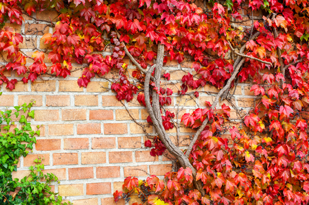 Multicolored wild creepy vine Ampelopsis grape branches. Fall season. Vibrant outdoors autumn horizontal image.