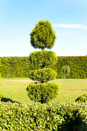 One topiary green thuja with hedge on background in ornamental garden. Vibrant summertime outdoors vertical image. Stock Photo