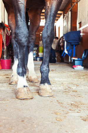 hoof: Chestnut horse hoof standing in stable. Indoors colored vertical image. Low point of view.