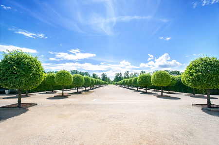 rundale: Alley of topiary green trees with hedge on background in ornamental garden on a blue sky background in summer park. Latvia. Vibrant outdoors horizontal image.