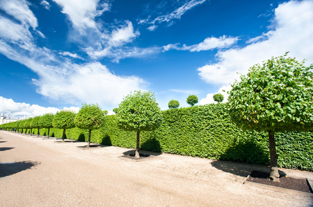 Alley of topiary green trees with hedge on background in ornamental garden on a blue sky background in summer park. Latvia. Vibrant outdoors horizontal image.