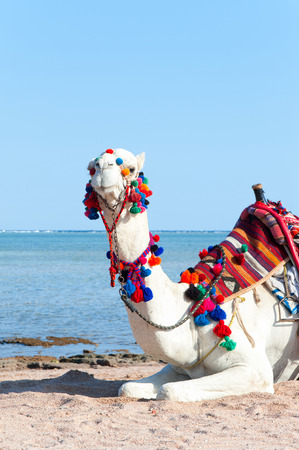 White camel resting on the Egyptian beach. Camelus dromedarius. Summertime colored vertical outdoors image.