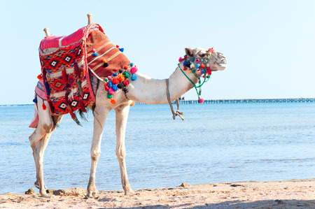 White proud camel standing on the Egyptian beach. Camelus dromedarius. Colored summertime outdoors horizontal image.