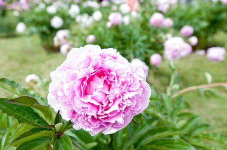 minuet: Beautiful pink color Minuet Paeoni peony blossoming flowers in garden. Horizontal Outdoors summertime vibrant image.