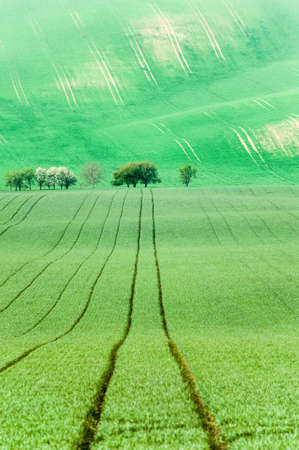 Curves of wavy rolling textured rural fields with blooming trees in moravia at springtime. Czech republic. Suitable for abstract background or pattern. Bright vibrant multicolored outdoors vertical image.