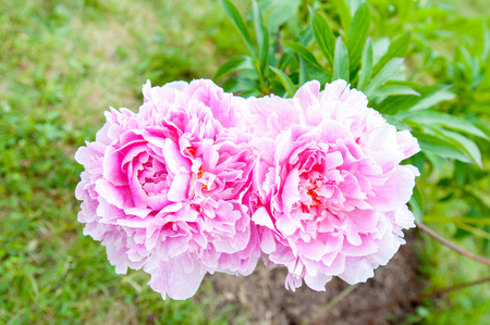 minuet: Beautiful pink Minuet peony flowers. Horizontal Outdoors summertime vibrant colored image. Stock Photo