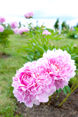 minuet: Beautiful pink Minuet peony flowers. Vertical Outdoors summertime vibrant colored image. Stock Photo