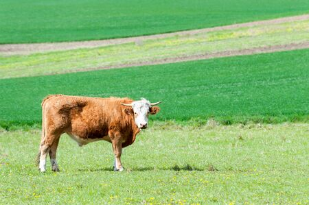 Young red curly bull grazing in green springtime field. Moravia. Czech republic. Vibrant colored outdoors horizontal image.